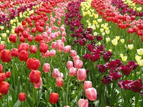 Fields of brightly coloured tulips cover the grounds of Keukenhof gardens, creating a delight for the eyes.
